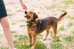 Brun slät-haired hund med en krage som sniffar fingrarna av en flicka arkivfoto