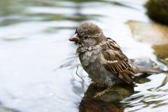 brun sparrow Fotografering för Bildbyråer