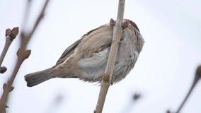 Brun sparvsammanträdefågel på en torr filialvintervind arkivfilmer
