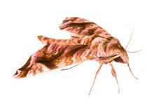 Brun Sphingidaefamilj av malar Arkivbild