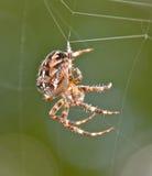 Brun spindel arkivbilder
