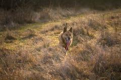 Brun spring för hund för tysk herde på fält Arkivbild