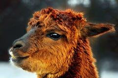 brun stående för alpaca Arkivbilder