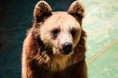 brun stående för björn Arkivfoto