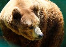 brun stående för björn Fotografering för Bildbyråer