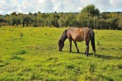Brun sto som gräs i irländaregräsplanfält arkivbilder