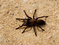 brun stor spindel Fotografering för Bildbyråer