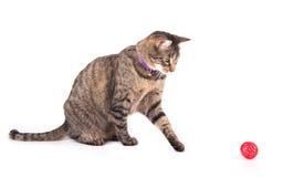 Brun strimmig kattkatt som spelar med en röd boll Royaltyfri Foto