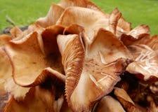 Brun svamp arkivbild