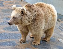 brun syrian för 6 björn Arkivbilder