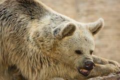 brun syrian för björn Arkivbilder