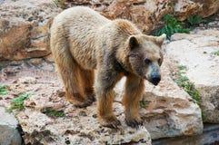 brun syrian för björn Fotografering för Bildbyråer