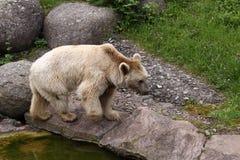 brun syrian för björn Arkivfoto