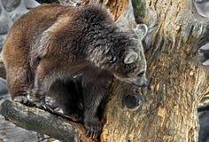 brun syrian för björn Royaltyfri Foto