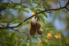 Brun tamarinefrukt på träd med den lilla blomman Arkivbilder