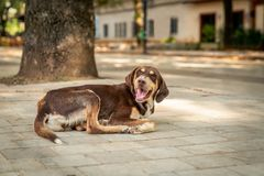 Brun tillfällig hund som ligger på gatan i Tirana Albanien som ser camere Selektivt fokusera fotografering för bildbyråer