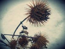 Brun tistel på insnöad skog arkivfoton
