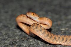 Brun trädorm (Boiga irregularis) art för en allmänning av ormen från Australien Arkivfoto
