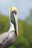 brun uddkorallflorida pelikan Fotografering för Bildbyråer