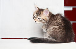 Brun valp av den siberian katten Royaltyfri Fotografi
