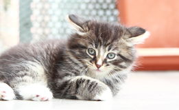 Brun valp av katten, siberian avel Arkivfoton