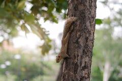Brun variabel ekorre som ner klättrar ett träd Arkivbild