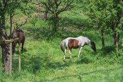 Brun vit häst i en beta Arkivbilder