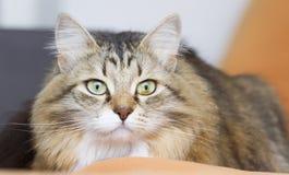 brun vit siberian katt på soffan Arkivfoto