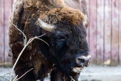 Brun vitrysk bizon Royaltyfri Foto