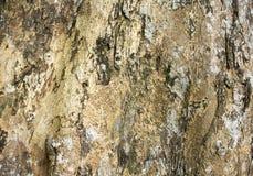 Brun wood skälltextur med sprickor Brädeyttersida för rått trä Arkivfoto