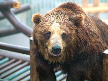 brun zoo för björn Arkivfoton