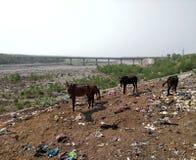 Bruna åsnor som betar och söker för mat royaltyfri foto