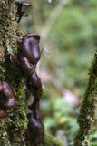 Bruna agaricchampinjoner, förbi deras skördtid Arkivbilder