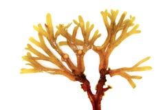 Bruna alger Arkivbilder