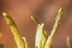 Bruna alger (fucusen) Makro arkivbilder