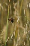 Bruna argus (Aricia agestis) Royaltyfria Foton