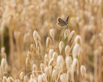 Bruna Argus fjärilsAricia agestis som sätta sig på havre, kantjusterar sativa Avena fotografering för bildbyråer