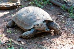 Bruna asiatiska sköldpaddor i fångenskap på en zoo i Thailand arkivbild