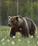 Bruna björnUrsusarctos Arkivbilder