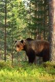 Bruna björnUrsusarctos Royaltyfri Fotografi