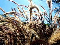 Bruna borsteväxter Royaltyfri Bild