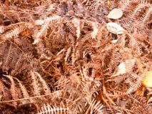 Bruna döda torkar ormbunkesidor på se för textur för skoggolvbakgrund Royaltyfri Fotografi