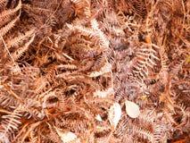 Bruna döda torkar ormbunkesidor på se för textur för skoggolvbakgrund Arkivbilder