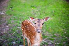 Bruna deers ser kameran på beta för gräs Arkivbilder