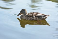 Bruna Duck Swimming Royaltyfri Fotografi