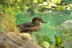 Bruna Duck Swimming Fotografering för Bildbyråer