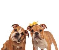 Bruna engelska bulldoggpar som ser nyfiket kameran Royaltyfri Bild