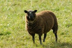 Bruna får i ett gräs- fält Royaltyfri Fotografi
