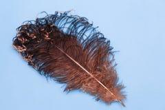Bruna fjädrar av en struts Härlig stor strutsfjäder på blå bakgrund royaltyfria bilder