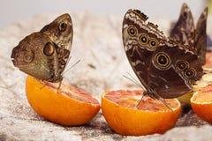 Bruna fjärilar Arkivfoto
